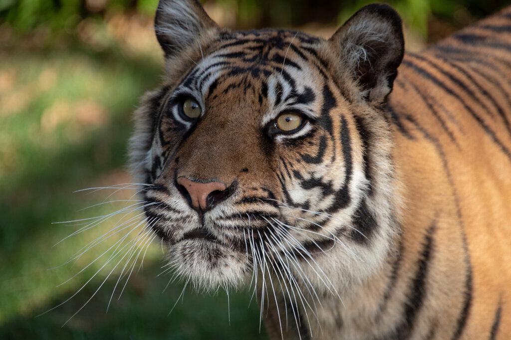 Sumatran Tiger - 2