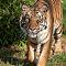 Sumatran Tiger - 4