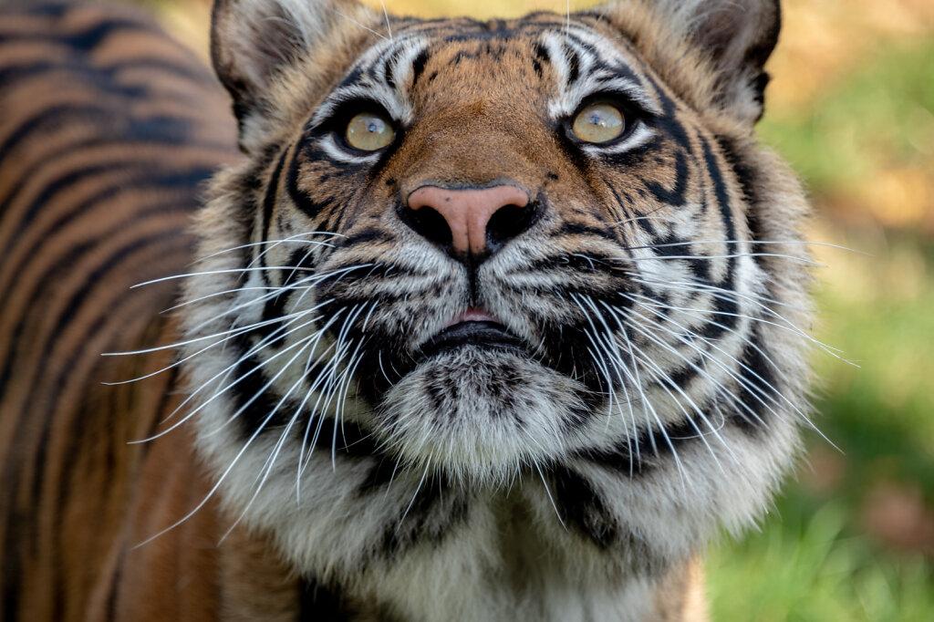 Sumatran Tiger - 5