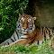 Sumatran Tiger - 8