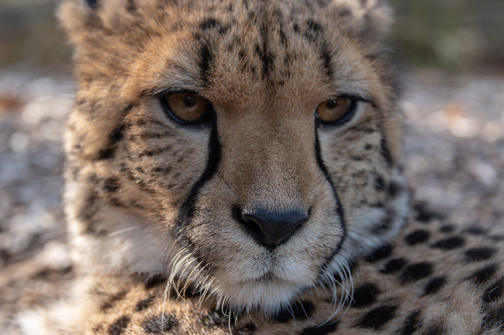 Cheetah - 5