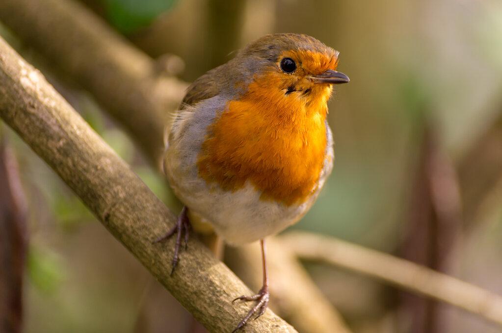 Robin-01407.jpg
