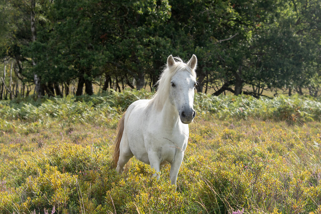 New-Forest-Ponies-1-of-1-5.jpg