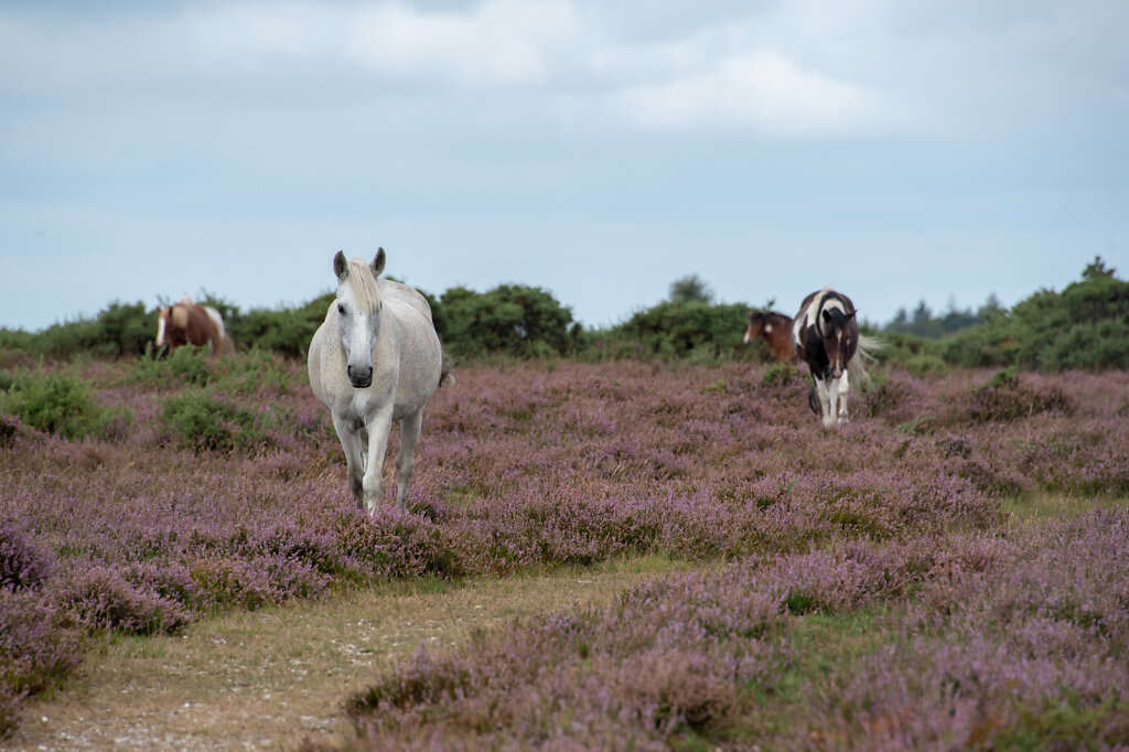 New-Forest-Ponies-1-of-1-3.jpg