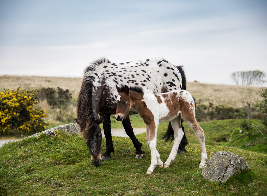 dartmoor-pony-1.jpg