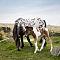 dartmoor-pony-1.jpg