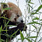Red-Panda-1-of-1.jpg