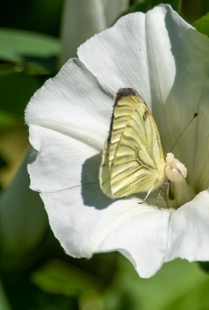 Cabbage-white.jpg